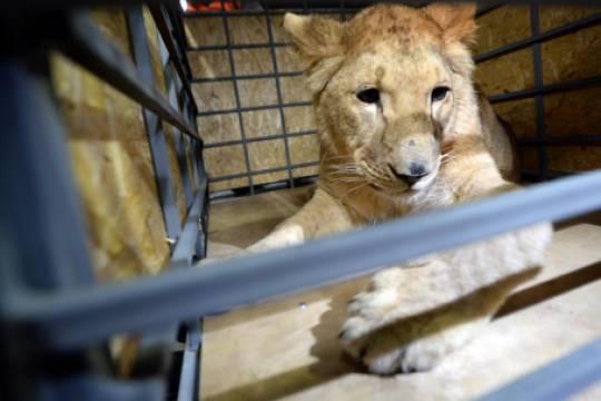Как устроен рынок контрабанды диких животных, и почему зверь в квартире порой убивает хозяина