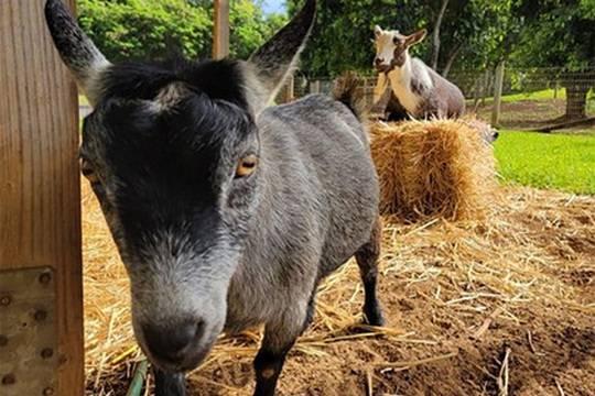 Марк Цукерберг назвал своих коз Макс и Биткоин
