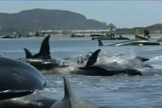 Появилось видео массового самоубийства китов в новейшей Зеландии