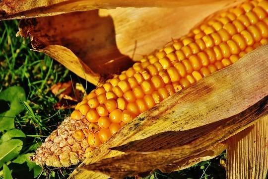 Посадивший Airbus в поле пилот привез жене початок кукурузы