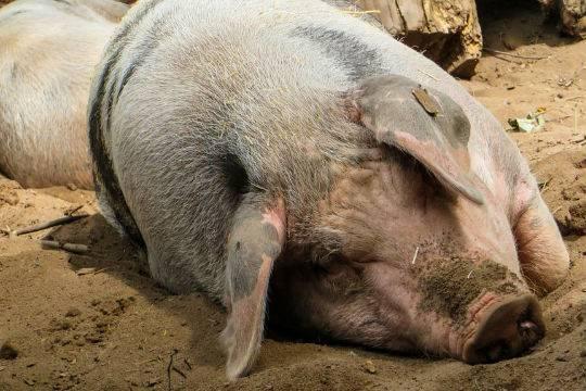 В Чехии зафиксирована вспышка африканской чумы свиней