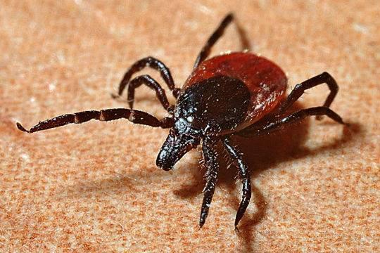 Майские праздники закончились укусами насекомых для 58 тыс. граждан России — Клещ атакует