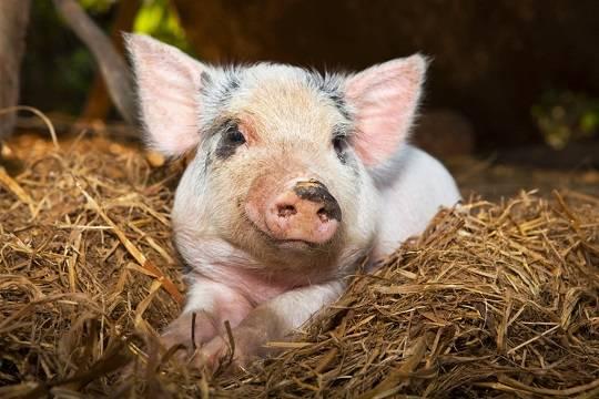 Российская Федерация запрещает ввоз свинины изМолдавии с6октября