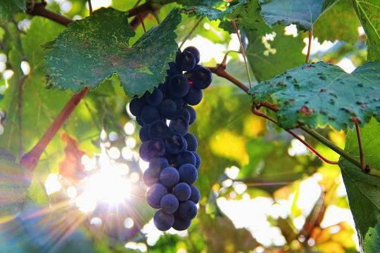 Виноград защищает отрака кожи