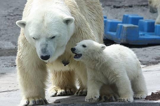В Московском зоопарке отметят день полярного медведя