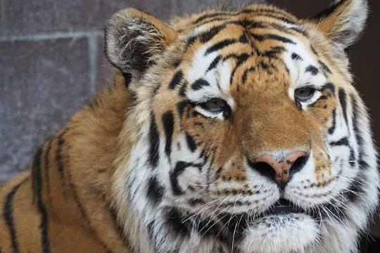 ВПриморье молодая тигрица угодила вкапкан браконьеров