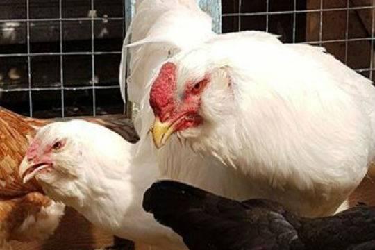 В РФ временно запрещен ввоз живой птицы и яиц из четырех районов Чехии