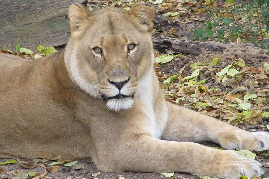 Генпрокуратура инициировала проверку пофакту нападения льва наподростка