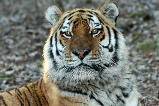 Профессионалы  отловят напавшего начеловека вХабаровском крае тигра